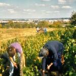 Vendanges en 2000 avant l'urbanisation des Champs Rémy
